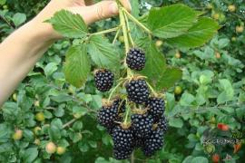 BlackBerry variety Belarusian early, large-45 UAH